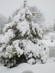 ** Un réveil tout blanc...** - 3/3 (Impatience_1 (peu...ou moins présente...)) Tags: neige snow chutedeneige snowfall hiver winter m impatience pin pine arbre tree clôture fence saveearth supershot coth coth5 abigfave alittlebeauty sunrays5