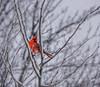 Snow Bird (mgstanton) Tags: bird cardinal snow winter red