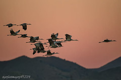 The early bird (Ross Forsyth - tigerfastimagery) Tags: bosque bosquedelapache newmexico wildlife nature reserve nr birds sandhillcranes sandhill cranes usa 2014 wild avian dawn flock