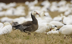 Snow Goose Blue Phase (snooker2009) Tags: bird goose geese snow blue phase migration nature wildlife pennsylvania flock spring fall