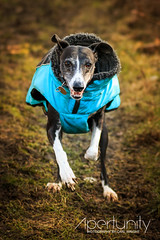 E M I L Y (apertunityphotography) Tags: dogs dog whippet zoomies whippetcross running dogrunning fast