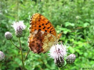 Butterfly 1626
