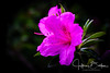 Azaleas-921413 (jbalfus) Tags: sel90m28g sonya9 azaleas flowers saratoga california unitedstates us