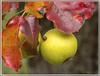Kleine Welt (Dieter Meyer) Tags: ladybird apple autumn harvest marienkäfer apfel herbst ernte schwäbischealb beuren badenwürttemberg deutschland germany käfer