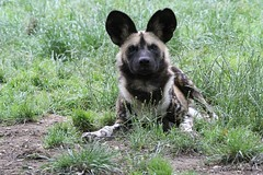 Lycaon (Passion Animaux & Photos) Tags: lycaon louppeint african wild dog lycaonpictus domaine fauves france