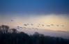 Into the Blue- Tundra Swans (Noble Bunny) Tags: tundra swan sunset rain in flight flyover flying soaring dusk twilight