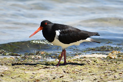 Pied Oystercatcher 1 (philk_56) Tags: perth western australia bird swan river pied oystercatcher