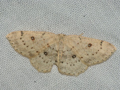 Cyclophora albipunctata - Birch mocha - Кольчатая пяденица обыкновенная (Cossus) Tags: cyclophora geometridae sterrhinae пестово пяденица 2009
