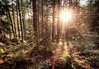 Beams in the Forest (henriksundholm.com) Tags: nature landscape forest woods shadows trees rocks grass moss spruce hdr sun sunset sunlight star sunbeams kronskogen eskilstuna sverige sweden