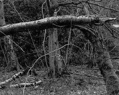 Broken Tree (hyons Wood) (Jonathan Carr) Tags: ancient woodland rural northeast landscape abstract black white bw monochrome largeformat 4x5 5x4 toyo45a tree trees
