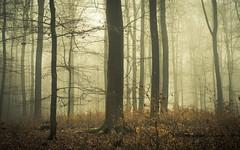 Winter Leaves (Netsrak) Tags: baum bäume eu europa europe forst januar january landschaft natur nebel wald fog forest landscape mist nature tree trees winter woods rheinbach nordrheinwestfalen deutschland de