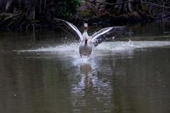 Headache 😂 (carlo612001) Tags: headache duck anatra malditesta wildlife lake water escape fuga acqua lago primavera spring