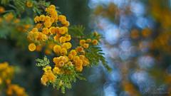 DSC00541a_SMC Pentax 55mm f1.8 (wNG555) Tags: 2018 arizona phoenix flora smcpentax55mmf18 fav25 fav50 fav100