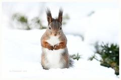 Happy Easter to all my Flickr friends! (G.Claesson) Tags: ekorre sverige vinter winter sweden squirrel eichhörnchen
