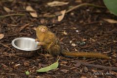 Ouistiti Pygmée à table (Fabrice Autin Photographe) Tags: normandie val de reuil biotropica ouistiti pygmée a table autin fabrice