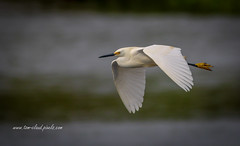 Snowy Egret Fly-By (tclaud2002) Tags: egret snowyegret bird wadingbird wildlife animal fly flying flight wings nature mothernature stickmarsh fellsmere florida usa