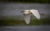 Snowy Egret Fly-By (tclaud2002) Tags: egret snowyegret bird wadingbird wildlife animal fly flying flight wings nature mothernature stickmarsh fellsmere florida usa