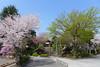 18o2725 (kimagurenote) Tags: 護国寺 gokokuji temple 桜 sakura prunus cerasus cherry blossom flower 東京都文京区 bunkyotokyo bunkyōtokyo