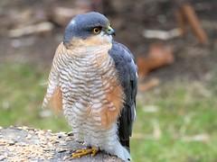 sparrowhawk in my garden (norbert.wegner) Tags: sperber greifvogel bird sparrowhawk garden leica100400 nature hawk