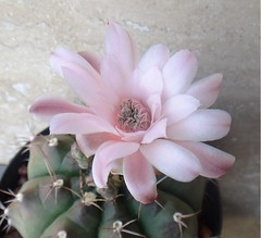 Gymnocalycium anisitsii ssp. damsii (armen.cactus) Tags: cactus succulent flower bloom gymnocalycium anisitsii damsii