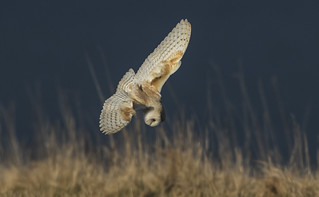 Barn Owl - Ocean backdrop