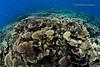 Rose underwater (kayak_no1) Tags: nikon d800e nauticamhousing 15mmsigmafisheye fisheye ysd1 underwater underwaterphotography wa wideangle diving scubadiving uw moalboal philippines hardcoral reef