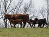 20180406-OSEC-LSC-0472 (USDAgov) Tags: highschoolfarm arnett perdue tour cattle dairycattle milkcow rv