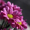wet flowers (bugman11) Tags: flower flowers flora petals canon 50mm18stm nature drop drops droplet droplets water rain macro thenetherlands nederland haarlem