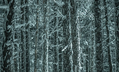 Enchanted Forest (jtr27) Tags: dscf7437xl jtr27 fuji fujifilm xe2s xtrans nikon seriese 100mm f28 manualfocus enchantedforest mount waumbek starrking newhampshire nh newengland whitemountains oldmansbeard lichen symbiotic symbiosis hike hiking