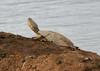 Turtle at the waterhole. Addo Elephant Park, SA (jimbobphoto) Tags: waterhole turtle shell cracked mud amphibian south africa southafrica water addo animal