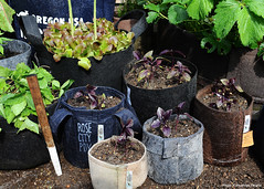 Dark Opal Basil in root pouch1 (Katsushige Bon Terada) Tags: basil herbgarden darkopalbasil rootpouch ルーツポーチ