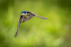 Catch Me If You Can (Selkii's Photos) Tags: birds california elliscreekponds flight petaluma swallow tachycinetabicolor treeswallow