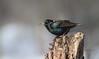 European Starling / Étourneau sansonnet (ricketdi) Tags: bird étourneausansonnet sturnusvulgaris commonstarling europeanstarling naturethroughthelens coth5 ngc