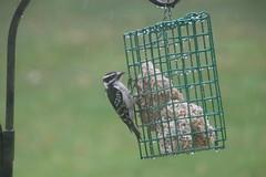 Wet Downy Woodpecker (Saline, Michigan) - April 14, 2018 (cseeman) Tags: downywoodpecker woodpecker suet feeder birds saline michigan backyard suetfeeder spring rainy wet downy04142018
