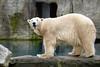 Ijsbeer in Diergaarde Blijdorp (Cajaflez) Tags: polarbear beer ijsbeer zoo dierentuin blijdorp rotterdam