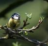 Visitor (dusk_rider) Tags: blue tit bird garden apple tree wednesday dusk rider nikon d7200 200500mm hertfordshire england uk
