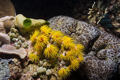Tubastraea coccinea - Red sun coral - Ярко-красный солнечный коралл (atardecer2018) Tags: underwater diving scubadiving filippines night sabang 2018 coral