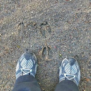 I was not alone. #tracks #onmymorningwalk #deer #lescheneaux #lescheneauxislands