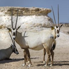 070A4350 (Cog2012) Tags: qatar oryx