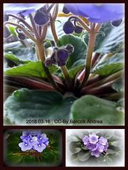 kek-ibolya-2018-03-16 (BerczikAndrea) Tags: saintpaulia ionantha saintpauliaionantha ibolya afrikai virág virágzó szobanövény blooming flower kék 2018