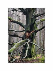 Warrior. (John Dominick) Tags: south downs oak tree mist