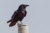 Punjab Raven | Corvus corax subcorax (Paul B Jones) Tags: india punjabraven corvuscoraxsubcorax rajasthan nature wildlife corvuscorax commonraven corvuscoraxlaurencei canoneos1dmarkiv ef800mmf56lisusm asia asian tourist tourism travel ecotourism indian indiya inde indien indië
