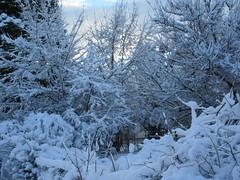 Winter wonderland (jamica1) Tags: snow trees winter bushes rutland kelowna okanagan bc british columbia canada