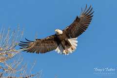 Female Bald Eagle returns to the nest - 8 of 29