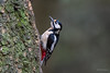 Grote bonte specht (wim.kanis) Tags: grote bonte specht great spotted woodpecker wim kanis vogels birds nikon d850 tamron 150 600 g2 natuur nature