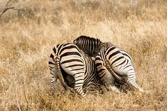Zebra Fight (mayekarulhas) Tags: zebra za krugernationalpark krugerpark wildlife wild southafrica safari animal africa canon canon500mm