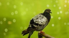 Pigeon - 4756 (YᗩSᗰIᘉᗴ HᗴᘉS +15 000 000 thx) Tags: bird bokeh pigeon nature green hensyasmine namur belgium europa aaa namuroise look photo friends be wow yasminehensinterest intersting eu fr greatphotographers lanamuroise fence fencefriday