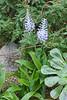 Scilla madeirensis Menezes - Kew Gardens (Ruud de Block) Tags: kewgardens ruuddeblock royalbotanicgardens asparagaceae scillamadeirensis scilla madeirensis