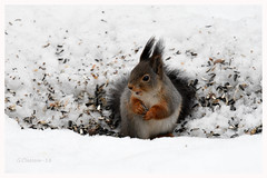 It is never wrong with some food (G.Claesson) Tags: eichhörnchen squirrel ekorre vinter winter sverige sweden