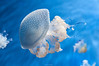 Jellyfish in blue #2 (Mario Di Nitto) Tags: jellyfish blue nature water
